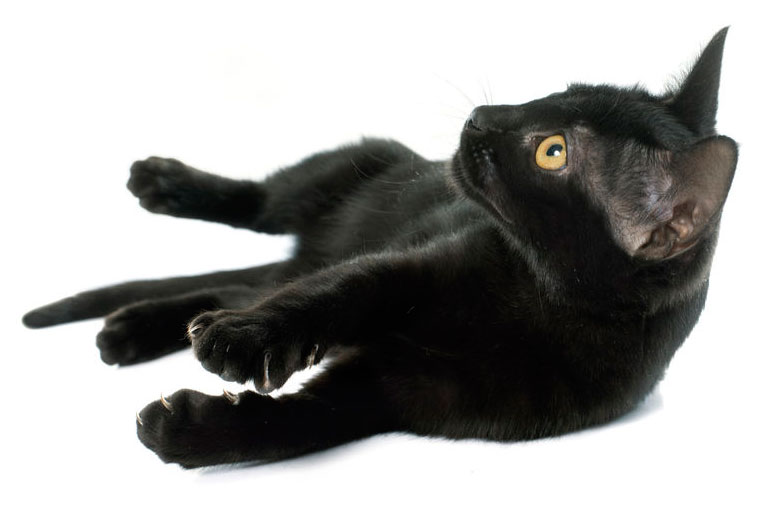 Black Cat on white background