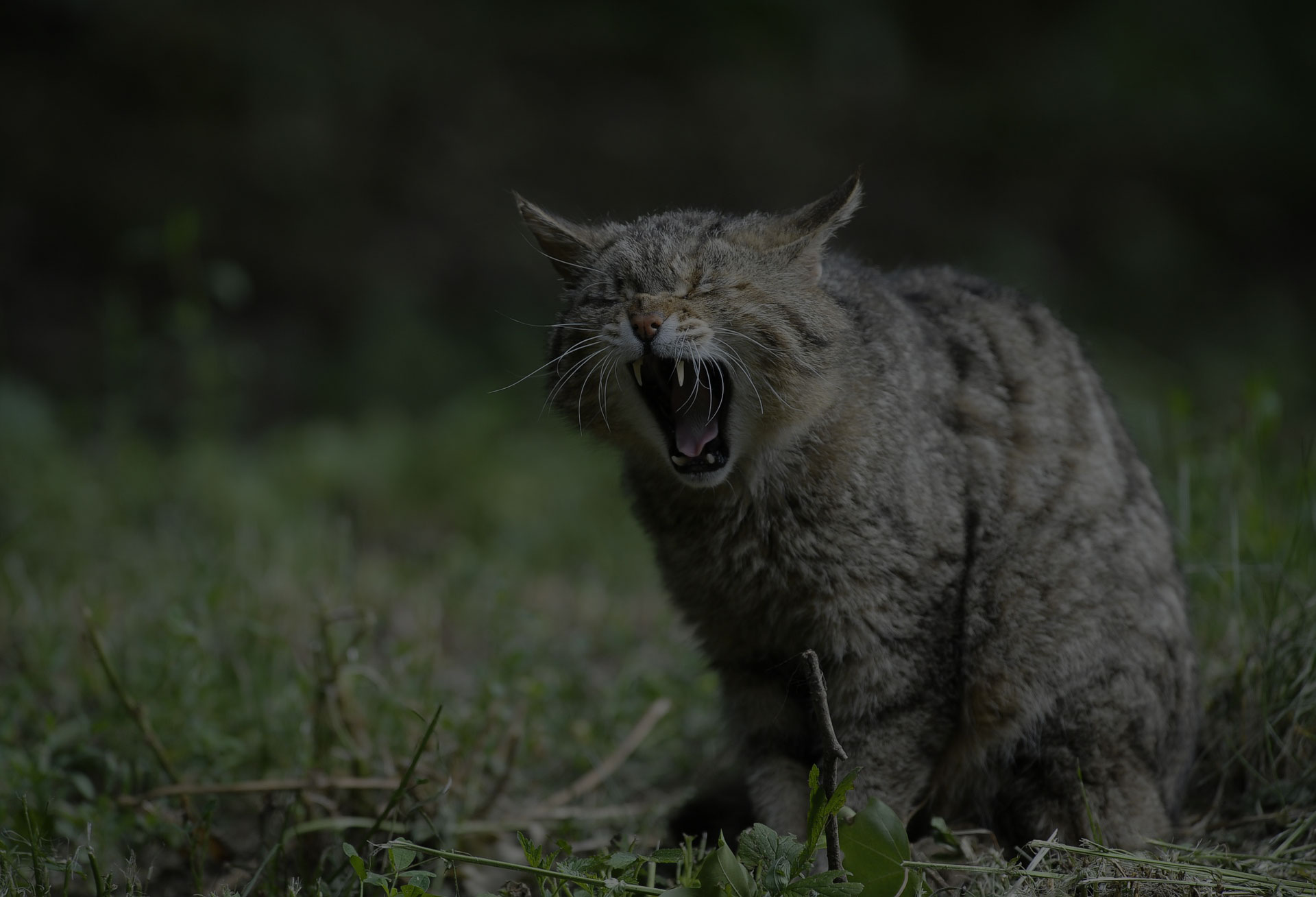 Tabby Cat Angry