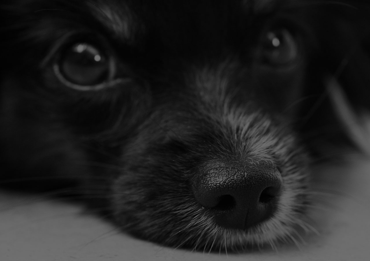 black dog nose