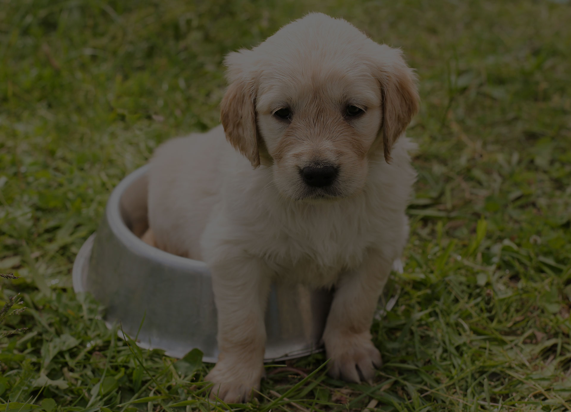 Puppy sitted on food bowl on grass